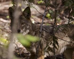 Coyote, BX Trail, Vernon, BC