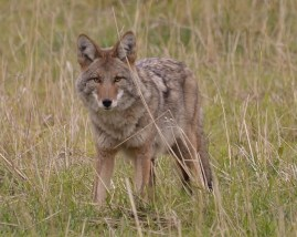 Coyote, Commonage, Vernon, BC