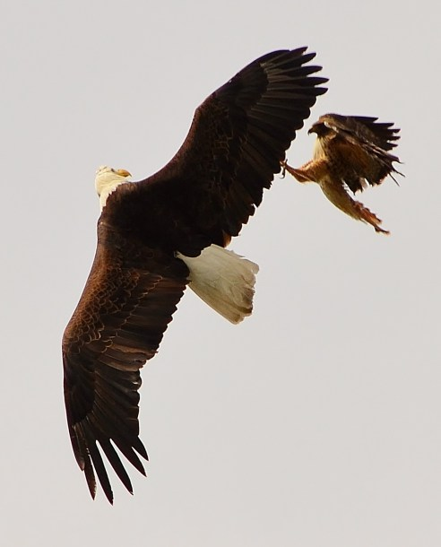 Bald Eagle & Red-tailed Hawk