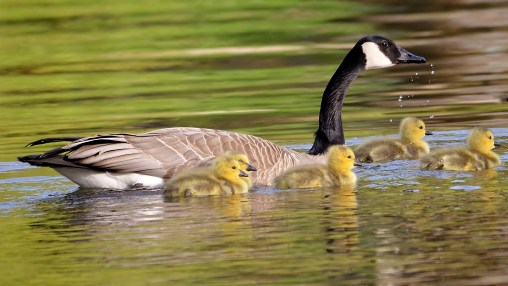 Little goslings out for a swim