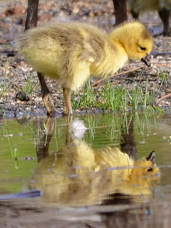 Little gosling pondering his reflection