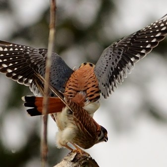 American Kestrels, mating season, Coldstream, BC