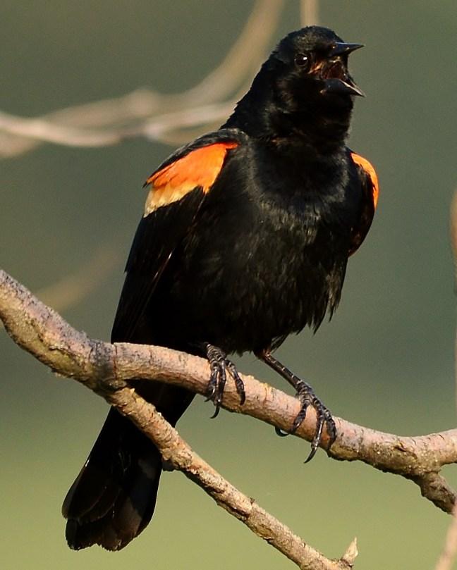 Red-winged Blackbird, Swan Lake, Vernon, BC