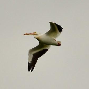 Pelican, Swan Lake Nature Reserve - Image # 301
