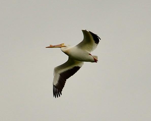 Pelican, Swan Lake Nature Reserve