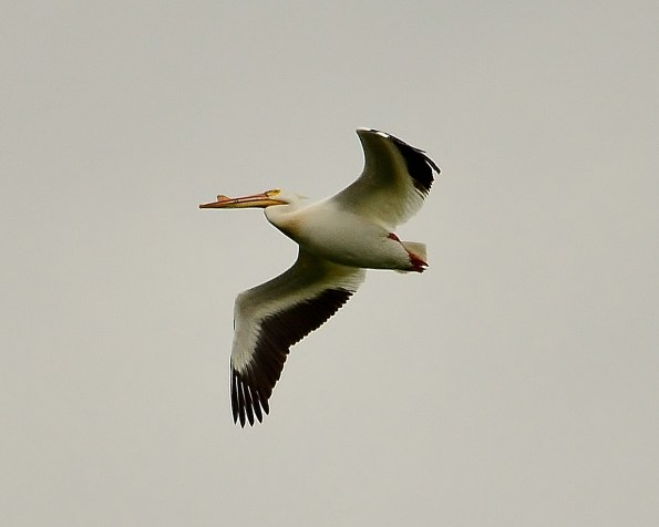 Pelican, Swan Lake Nature Reserve