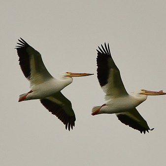 Pelicans, Swan Lake Nature Reserve, Vernon, BC - Image # 303