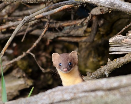 Weasel peaking out of his house, Swan Lake Nature Reserve, Vernon, BC