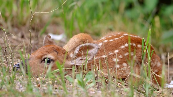 A new little fawn was separated from its mother due to a dog chasing her. They were thankfully reunited later that day. Coldstream, BC