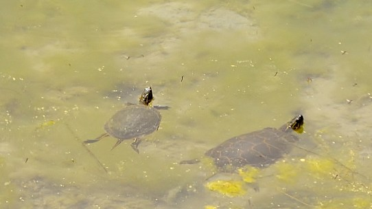 Western Painted Turtles on Round Lake, Armstrong, BC