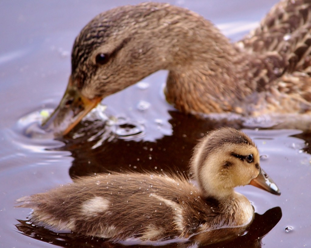 Mallard duck and duckling