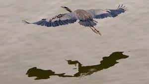 Great Blue Heron, Shuswap Lake, Salmon Arm, BC