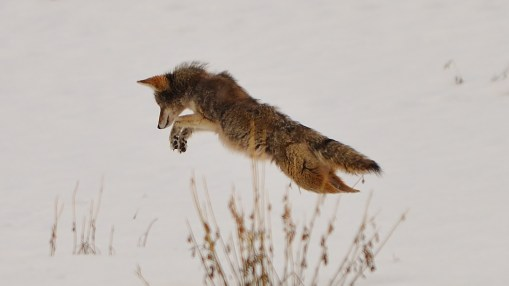 Coyote pouncing on snacks, Coldstream, BC