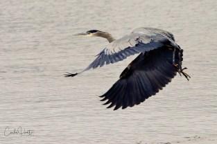Great Blue Heron, Kalamalka Lake, Coldstream, BC