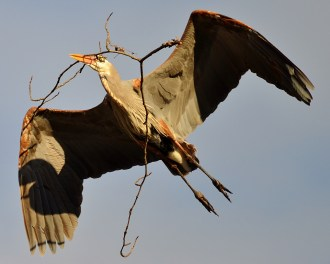Bringing back nesting material to the great blue heron rookery, Vernon, BC
