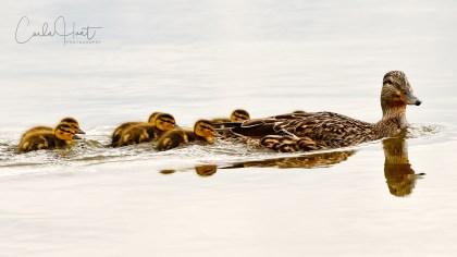 Mallard Duck taking her new ducklings for their first swim. Sudbury Beach, Skaha Lake, Penticton, BC