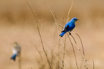 Mountain Blue Bird, Swan Lake Nature Reserve, Vernon, BC