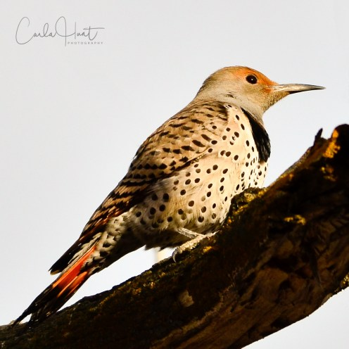 Northern Flicker, Swan Lake, Vernon, BC