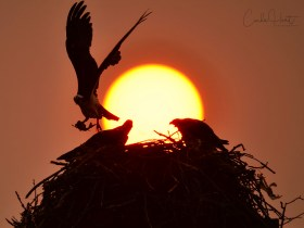 Osprey bringing back fish during the wildfire sunset, Grindrod, BC