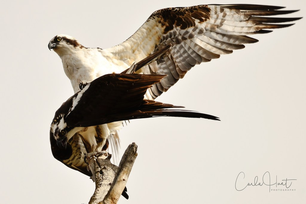 Ospreys Mating