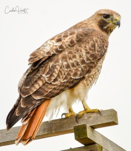 Red-tailed hawk at the Allan Brook's Nature Centre, Vernon, BC.