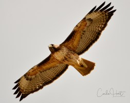 Red-tailed Hawk, Swan Lake Nature Reserve, Vernon, BC
