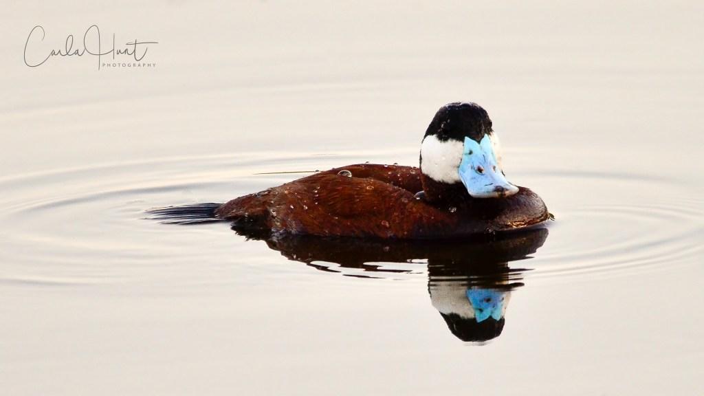 Ruddy Duck, Spallumcheen, BC