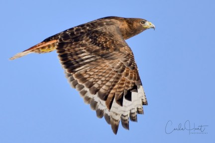 Rufous Morph Red-tailed Hawk