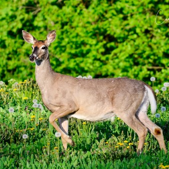 White-tailed Deer, Enderby, BC