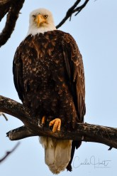 Bald Eagle at the eagle roost. I think I just woke him up lol