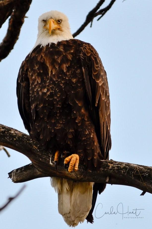 Bald Eagle at the eagle roost. I think I just woke him up lol