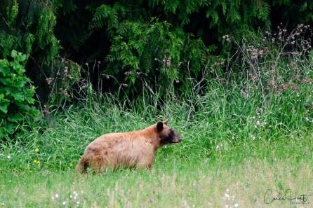 Black Bear, Grindrod, BC