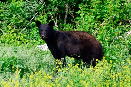 Black Bear, Enderby, BC