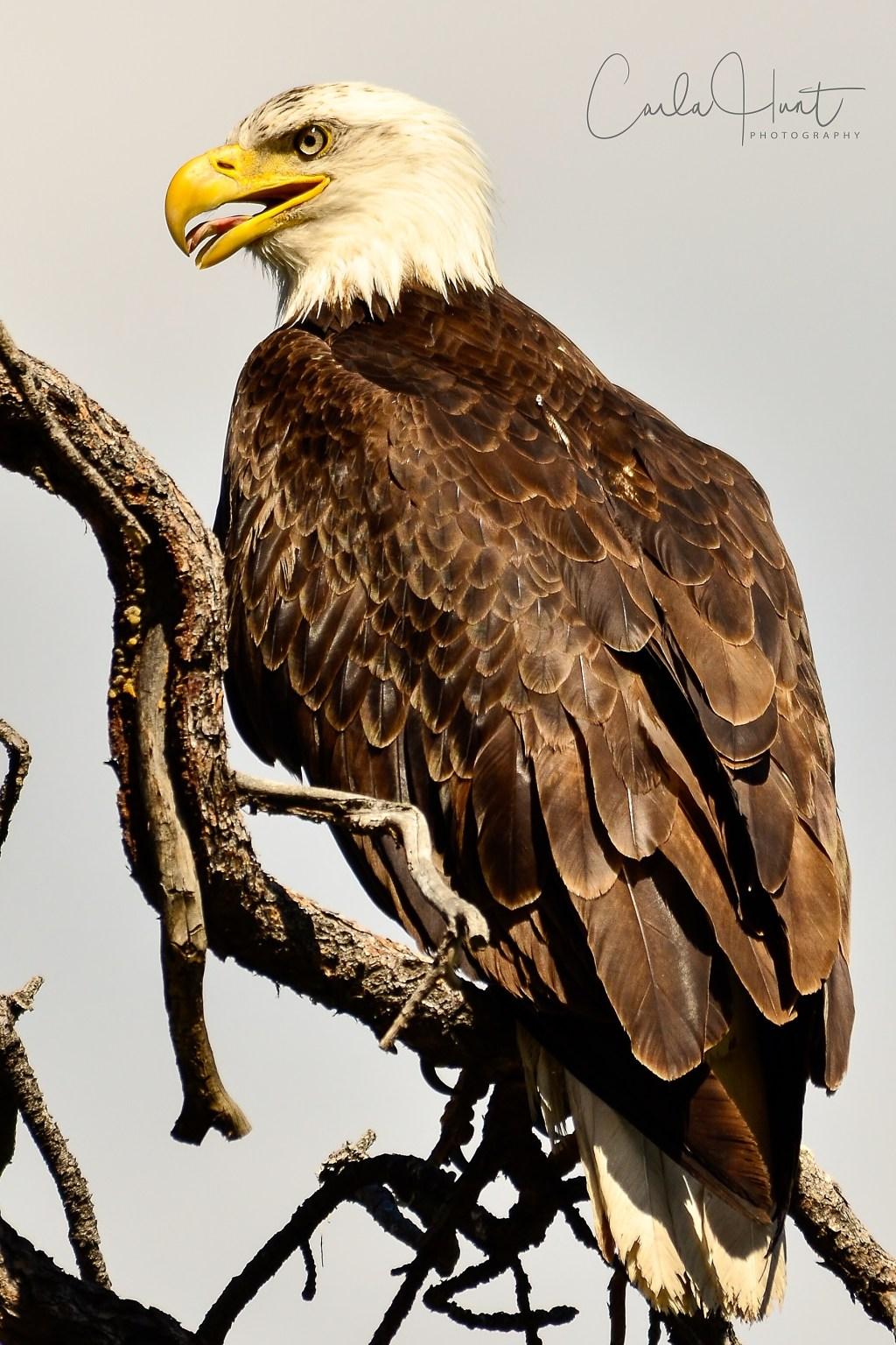 Bald Eagle-0821