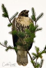Red-tailed Hawk, Lavington, BC