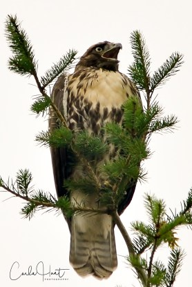 Red-tailed Hawk, Lavington, BC