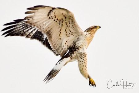 Juvenile Ferruginous Hawk, Spallumcheen, BC