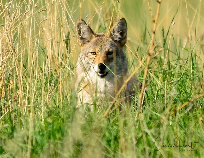 Trickster coyote, hiding in the grass, laughing at me! Vernon, BC.
