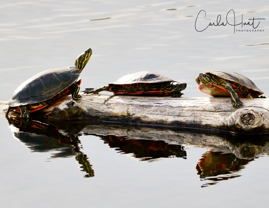 Western Painted Turtles, Vernon, BC