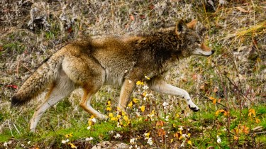 Senk'lip (Coyote) on the run! Okanagan Indian Band I.R. No. 1, Vernon, BC