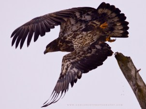 Not sure if this is a bald eagle or a golden eagle - taking flight in Armstrong, BC