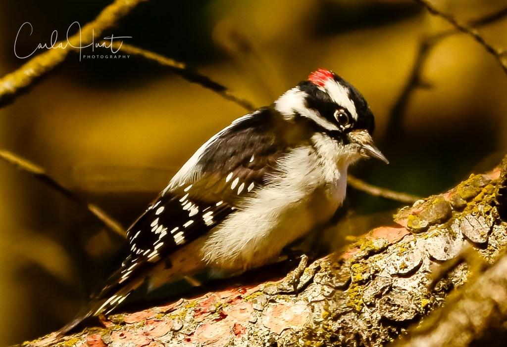 Downie Woodpecker