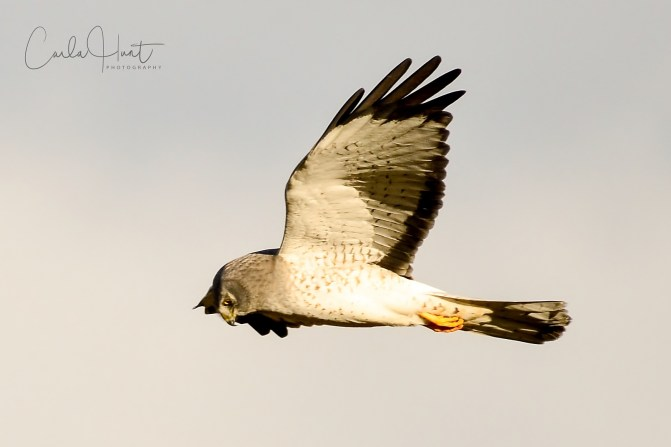 Northern Harrier hunting, Swan Lake Nature Reserve, Vernon, BC