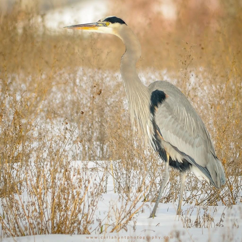 Great Blue Heron, Swan Lake Nature Reserve, Vernon, BC