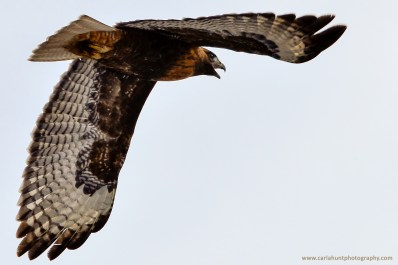Red-tailed Hawk, Falkland, BC