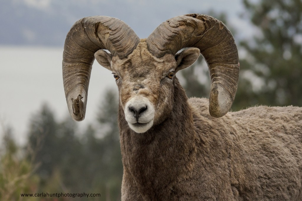 Bighorn Sheep, North Okanagan