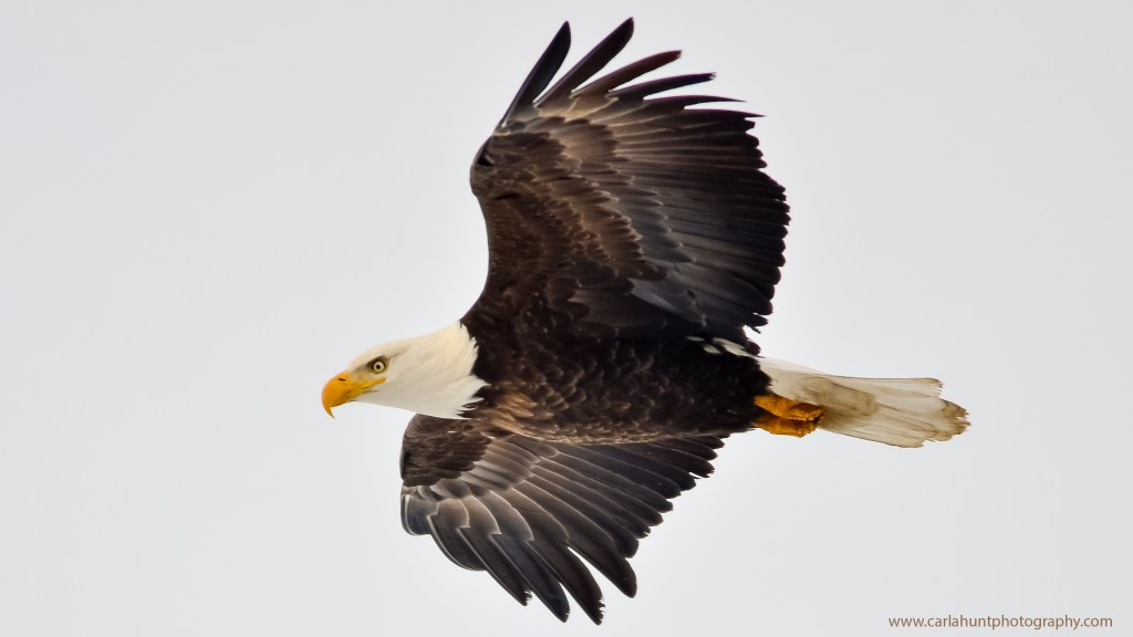Bald Eagle, soaring over Armstrong, BC