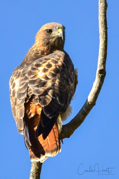 Red-tailed Hawk, Coldstream, BC