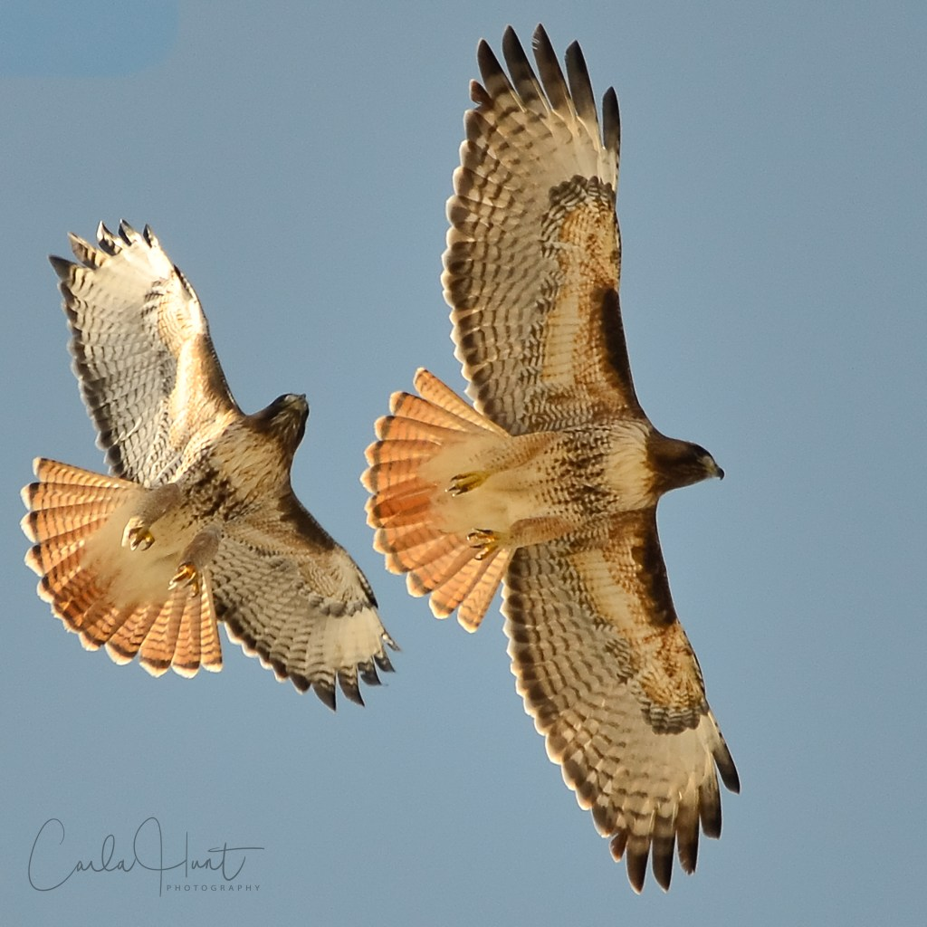 Red-tailed Hawks, Coldstream, BC