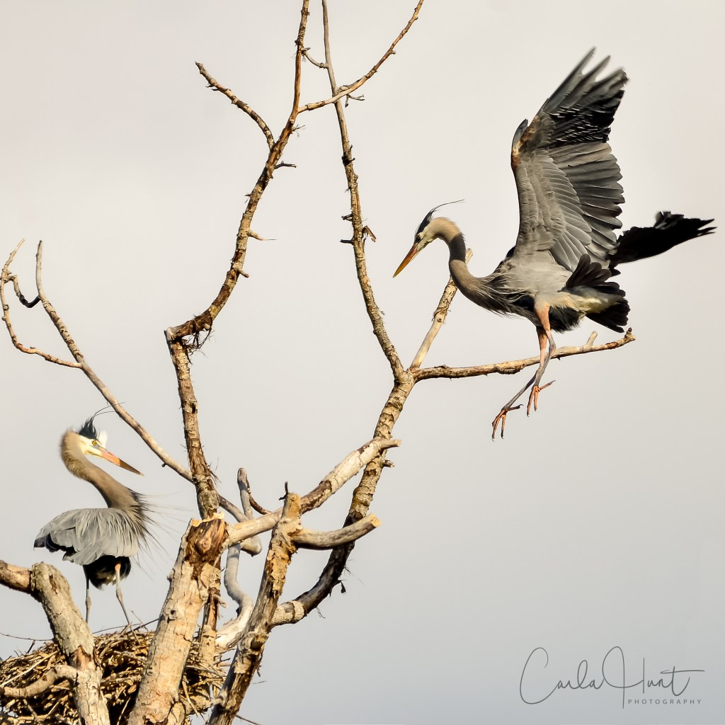 The great blue herons have returned to their nesting grounds! Vernon, BC